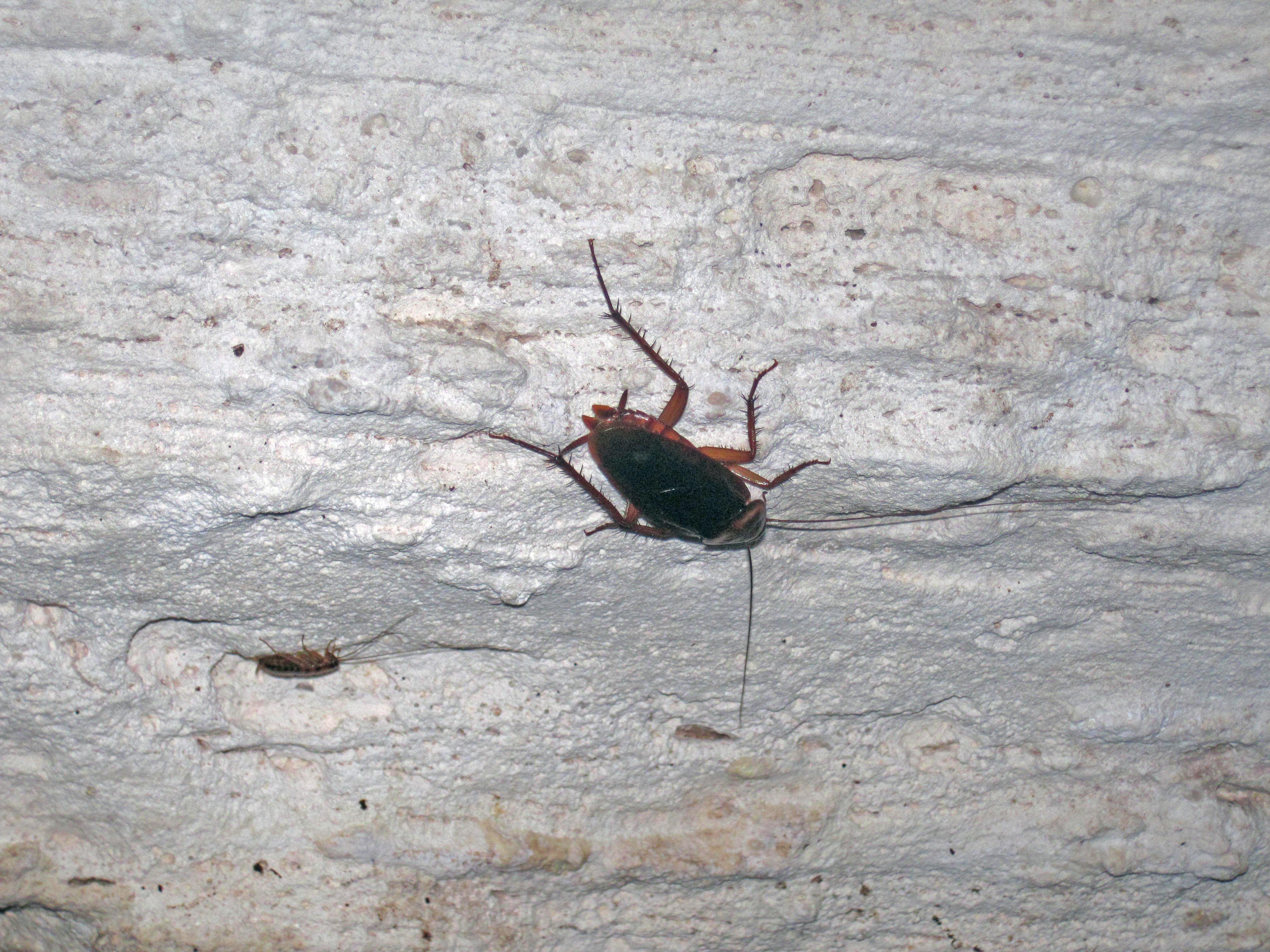 Organic Cockroach Control